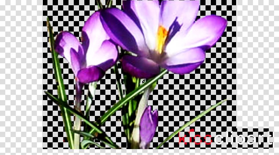 flower cretan crocus petal tommie crocus plant