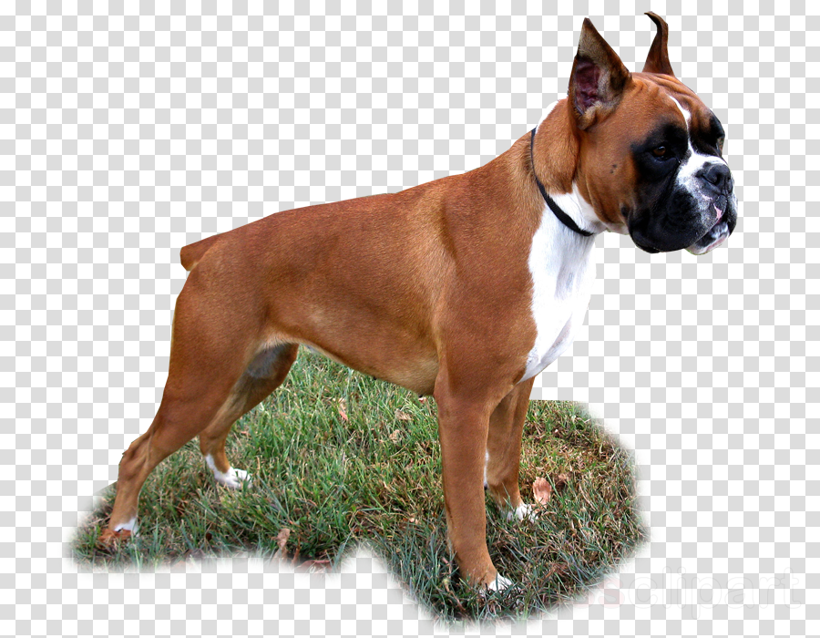 dog boxer snout fawn molosser
