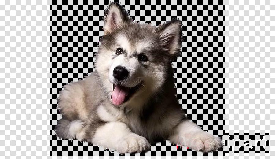 dog alaskan malamute siberian husky native american indian dog nose