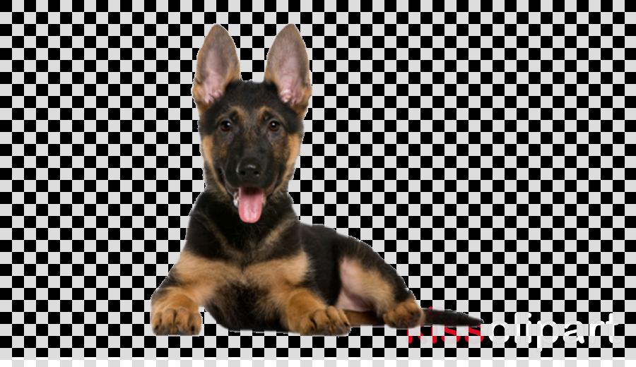 dog german shepherd dog puppy snout police dog