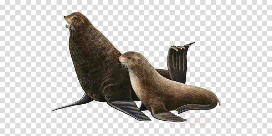 california sea lion steller sea lion fur seal seal earless seal