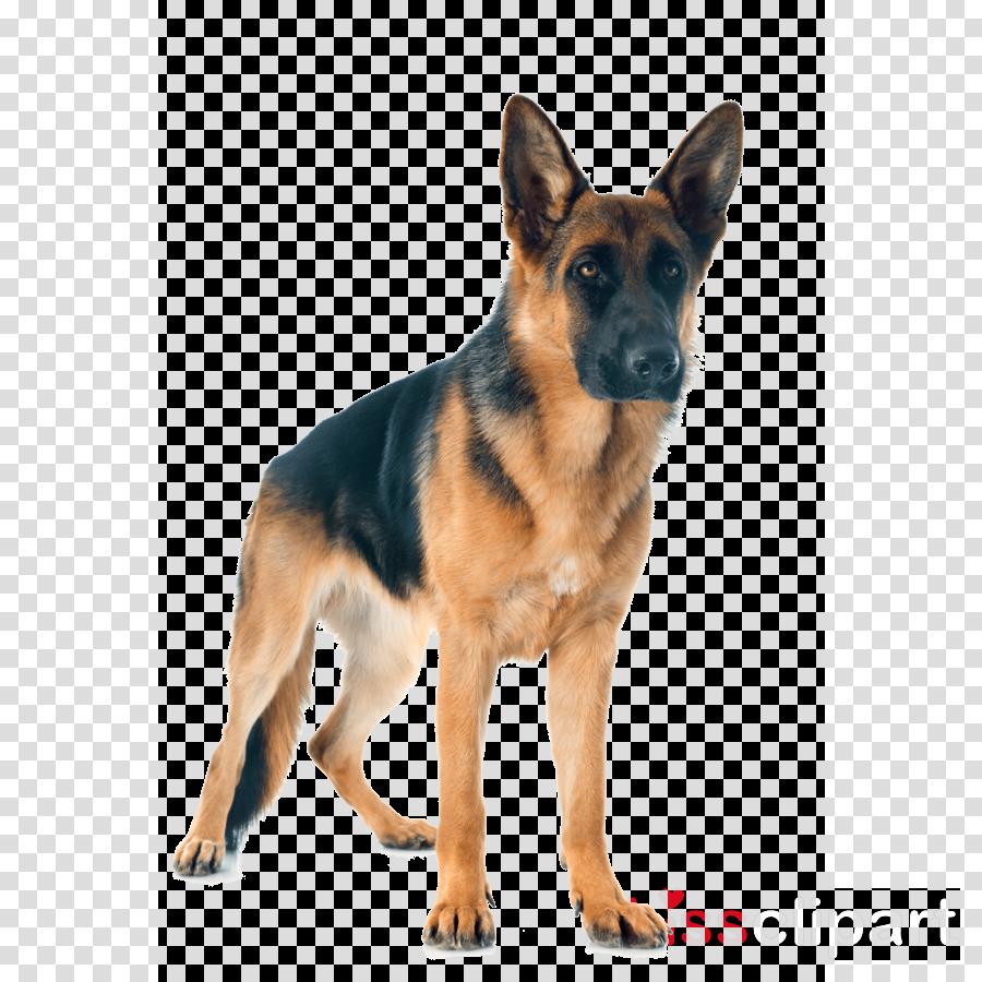 dog german shepherd dog king shepherd old german shepherd dog east-european shepherd