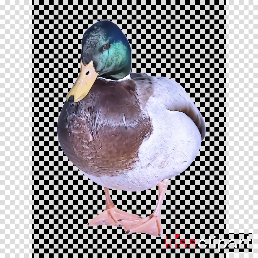 bird duck mallard water bird ducks, geese and swans