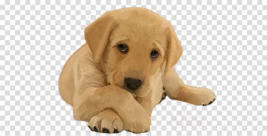 dog labrador retriever puppy retriever skin