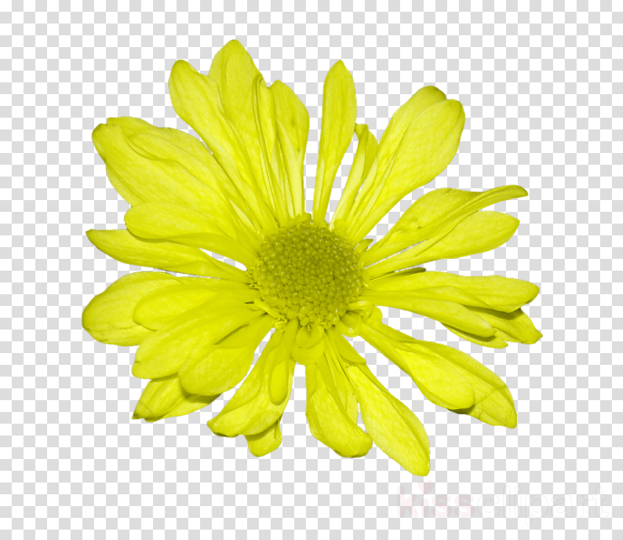 flower yellow petal plant chrysanthemum coronarium