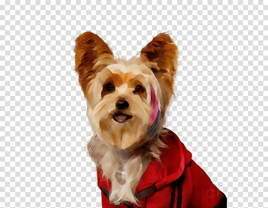 dog yorkshire terrier companion dog terrier snout