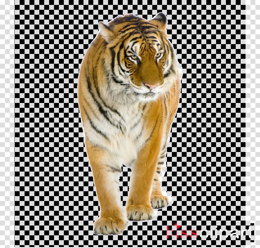 tiger bengal tiger siberian tiger animal figure wildlife