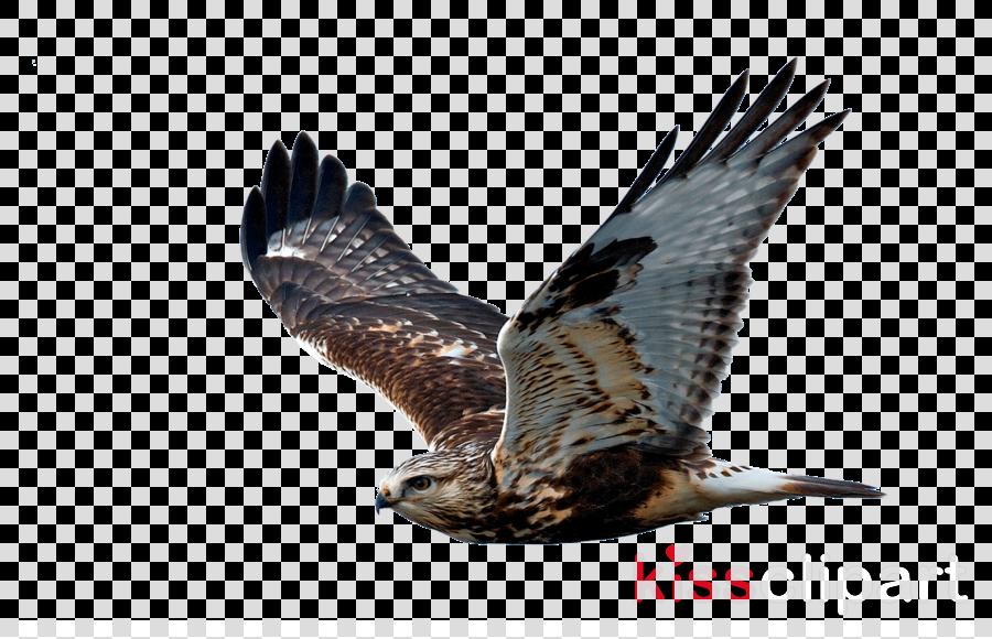 bird bird of prey eagle northern harrier kite