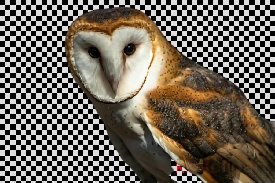 bird barn owl owl beak bird of prey