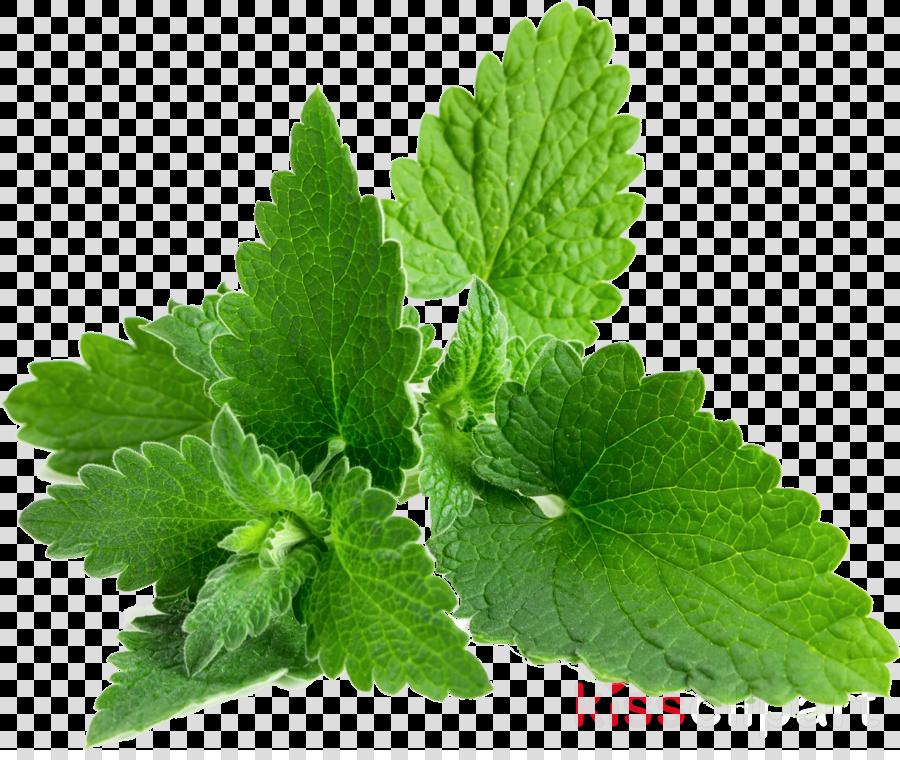 leaf plant herb flower lemon balm