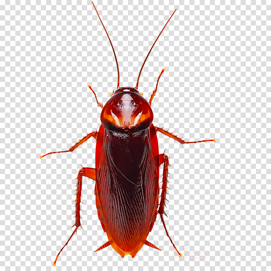 insect pest cockroach beetle miridae