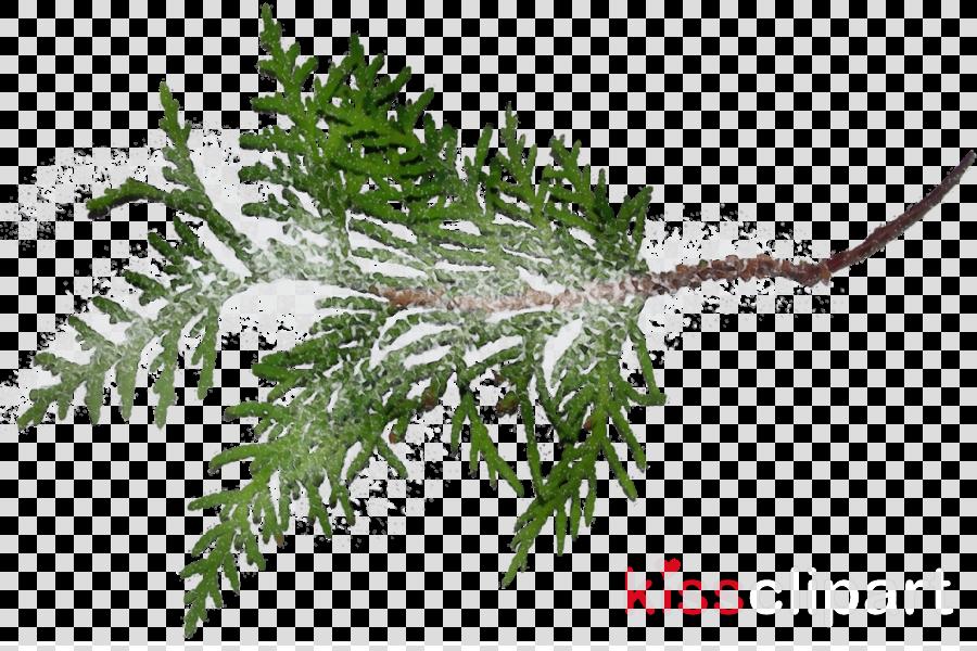 shortleaf black spruce columbian spruce yellow fir jack pine canadian fir