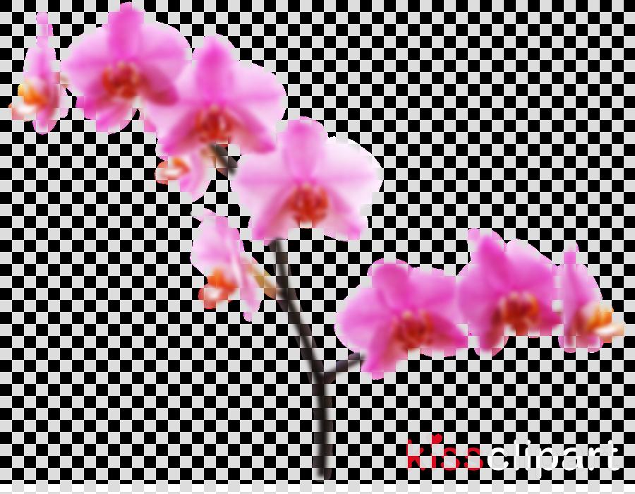 flower moth orchid plant pink petal