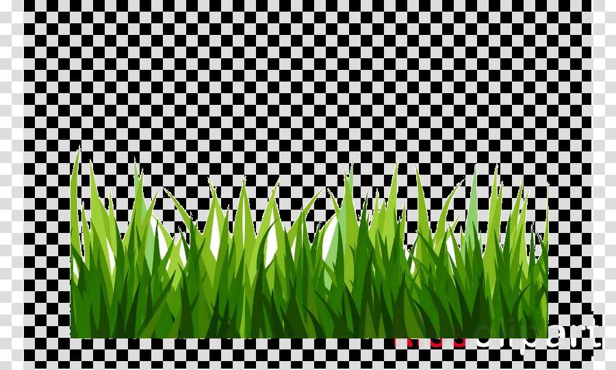 grass green plant lawn wheatgrass