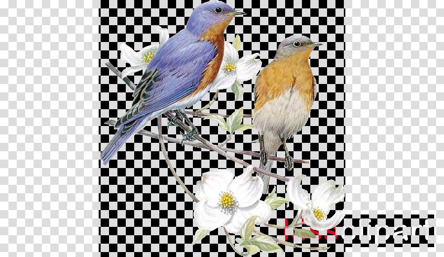 bird eastern bluebird bluebird songbird european robin