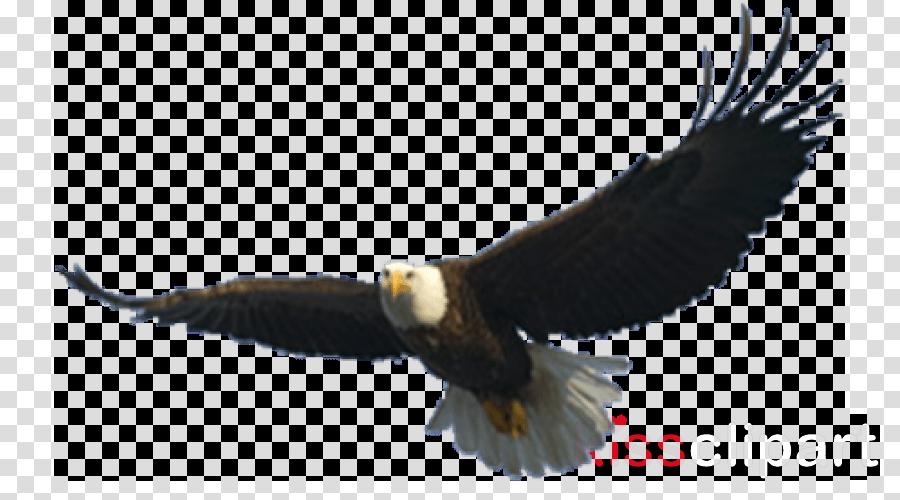 bird bird of prey bald eagle eagle accipitridae