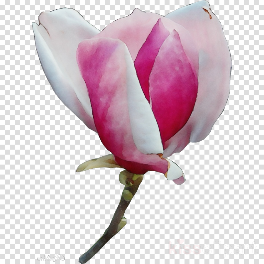 petal flower pink plant magnolia