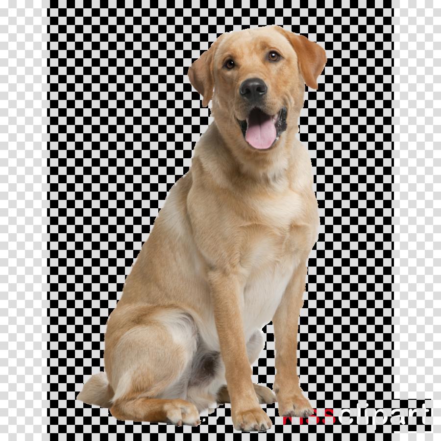 dog labrador retriever retriever sporting group companion dog