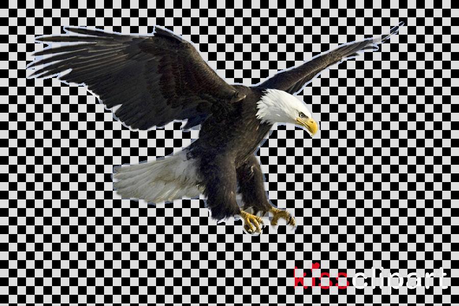bird bald eagle bird of prey eagle accipitridae