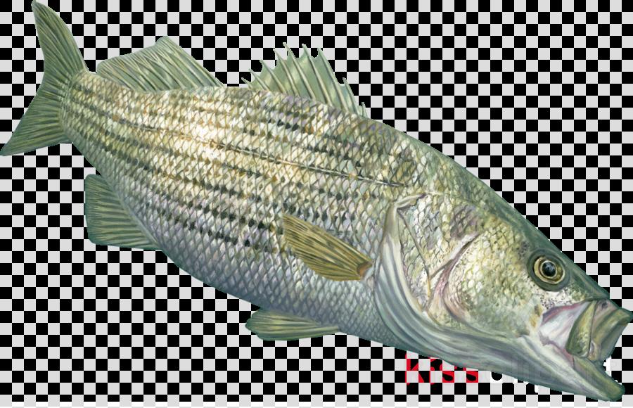 fish fish bass fish products pike