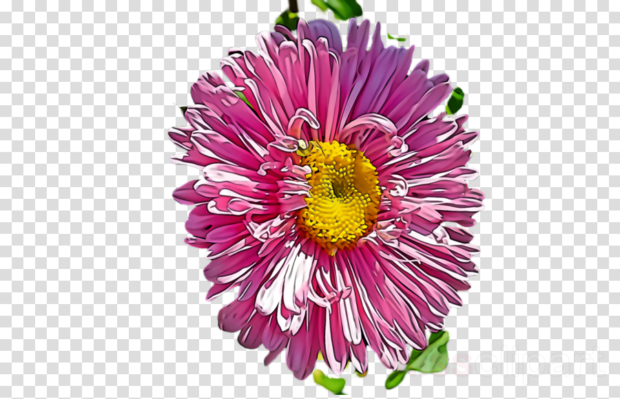 flower plant china aster petal aster