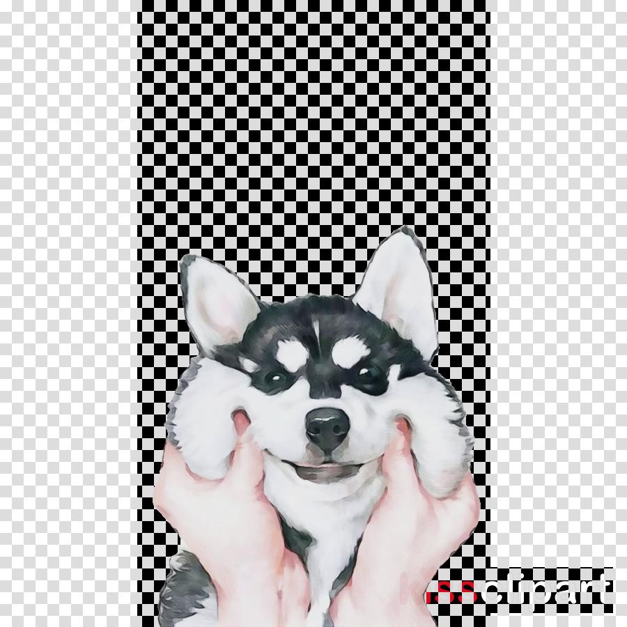 dog white siberian husky snout alaskan klee kai