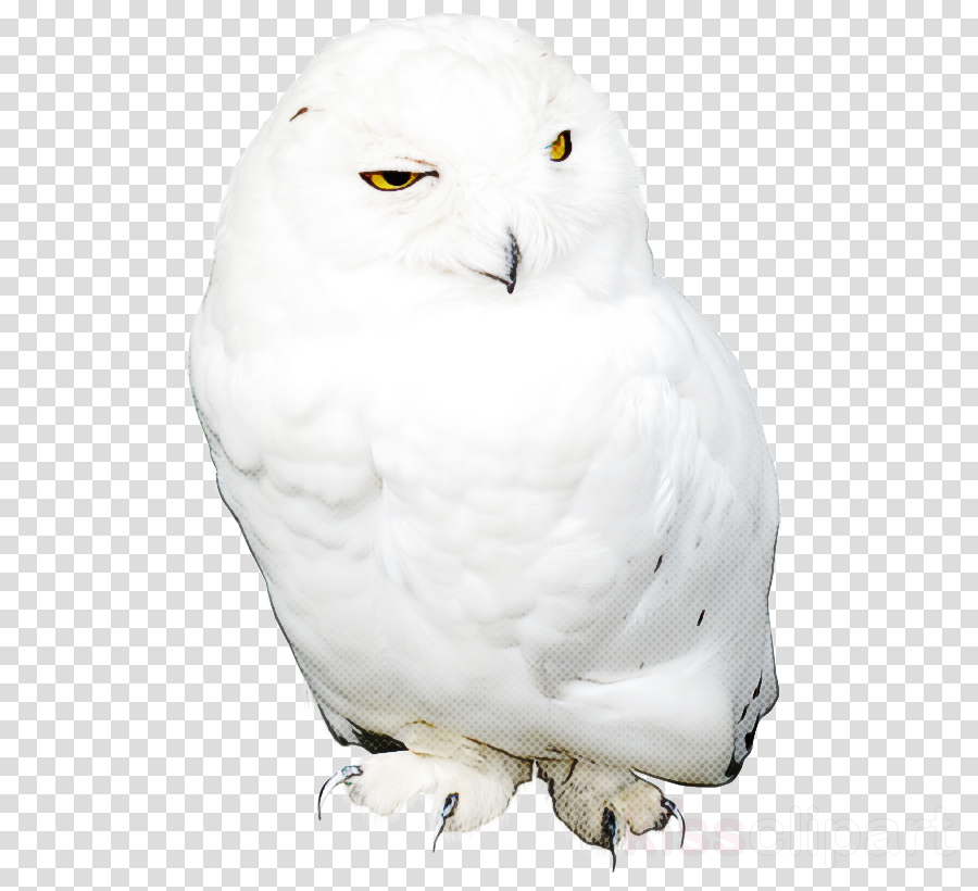 bird owl snowy owl white bird of prey