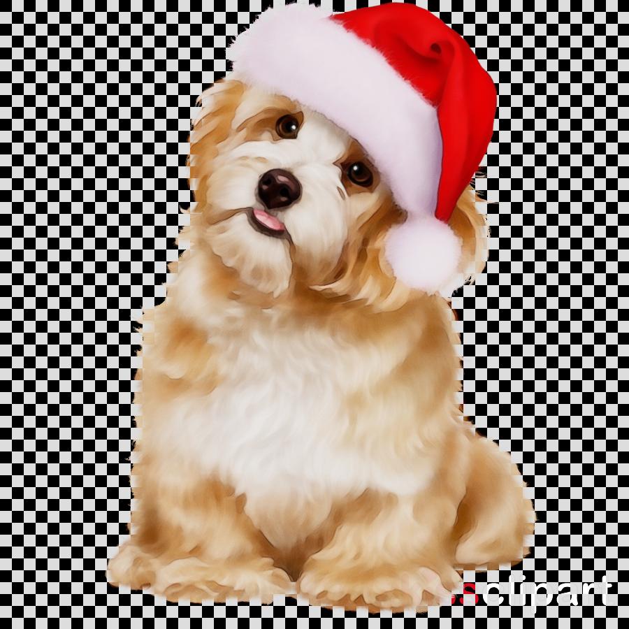 dog puppy lhasa apso shih tzu havanese