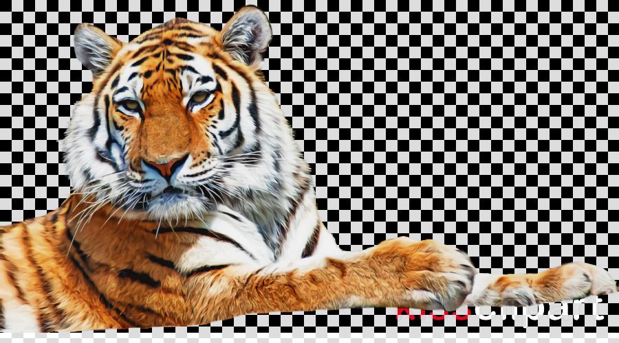 tiger wildlife bengal tiger siberian tiger