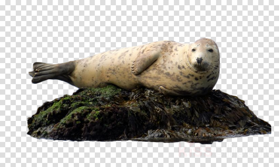 seal baltic gray seal harbor seal earless seal california sea lion