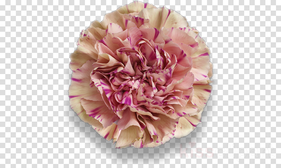 pink petal flower cut flowers plant