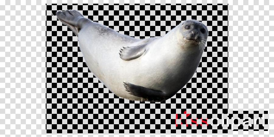 seal california sea lion harbor seal steller sea lion earless seal