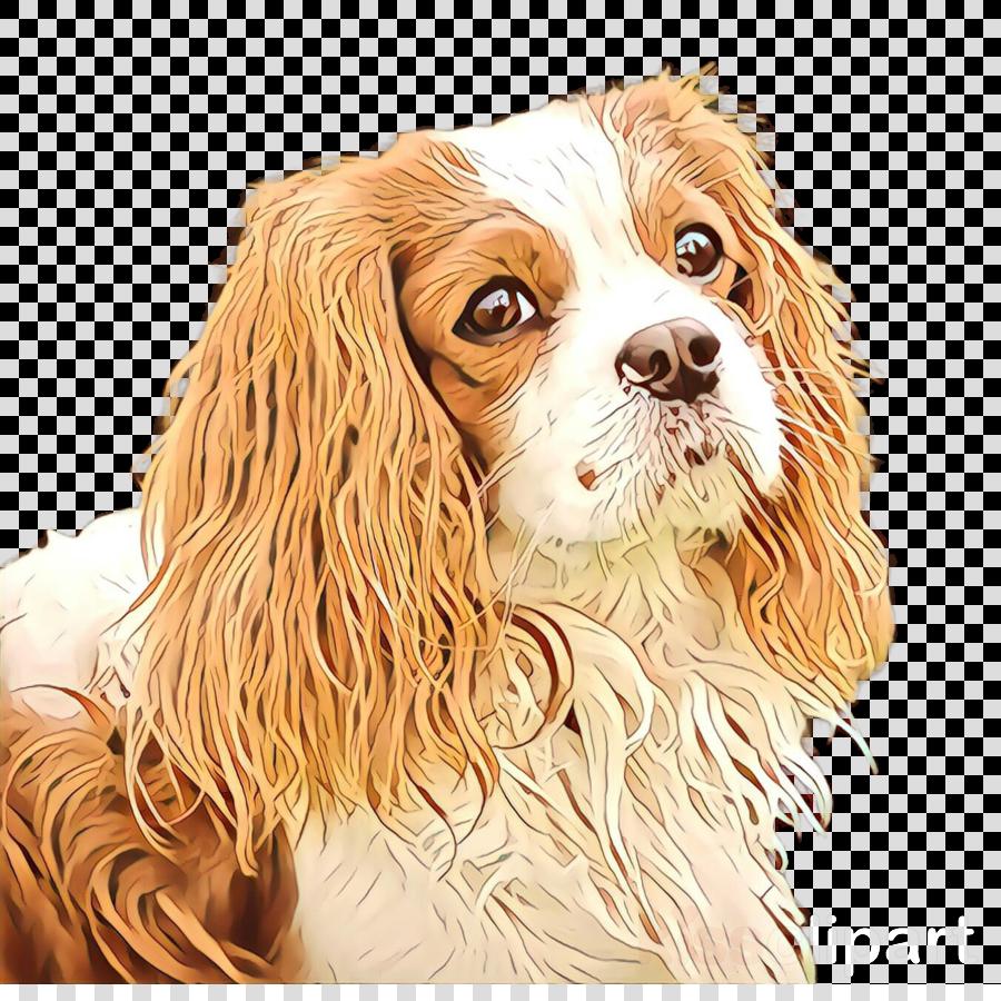 dog king charles spaniel cavalier king charles spaniel companion dog spaniel