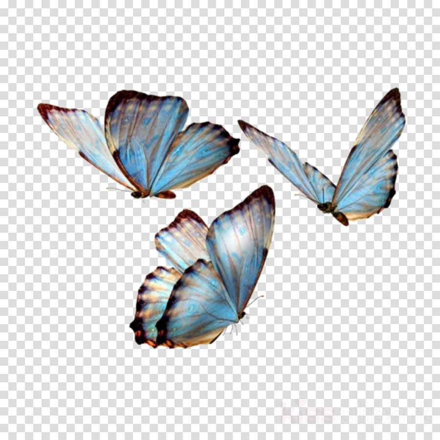 butterfly moths and butterflies insect blue common blue