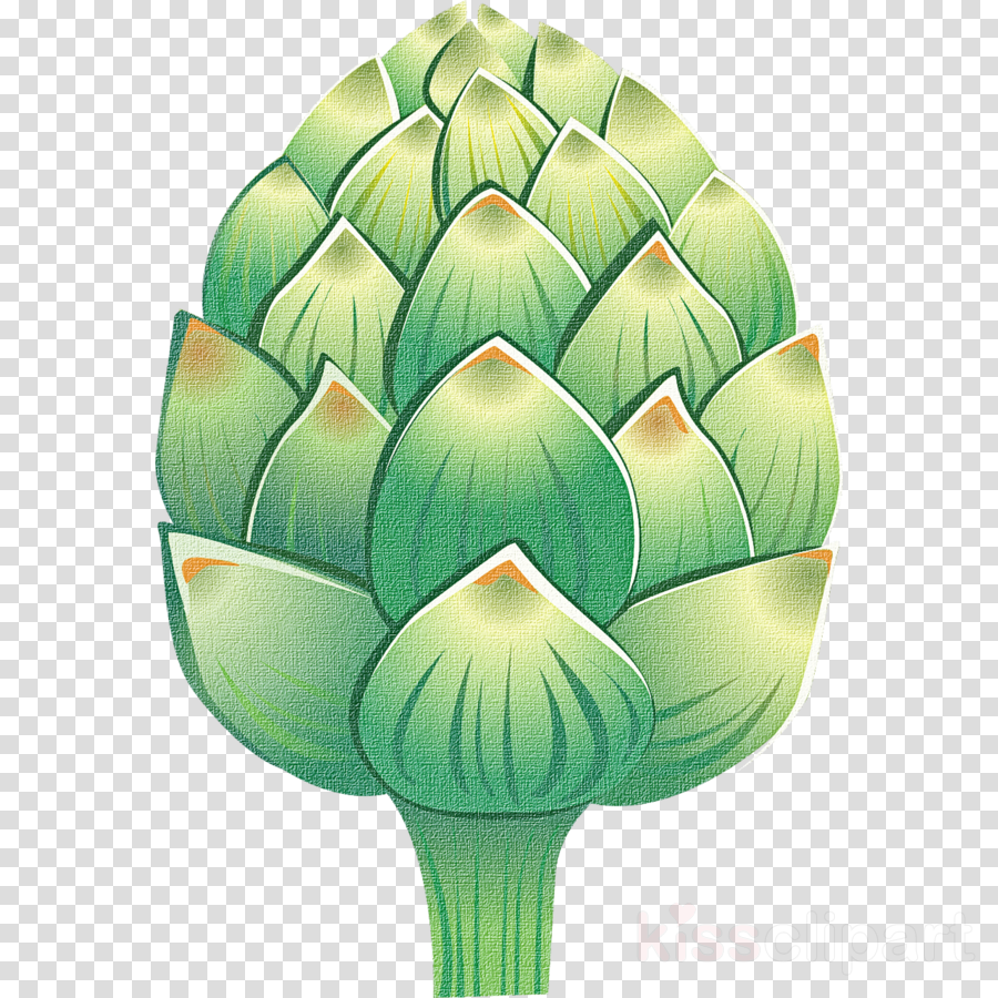 artichoke green cynara plant vegetable