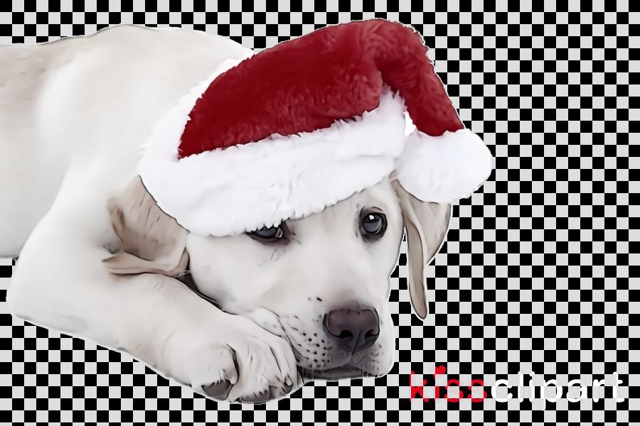 dog white puppy snout labrador retriever
