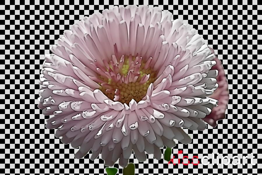 flower china aster gerbera plant pink