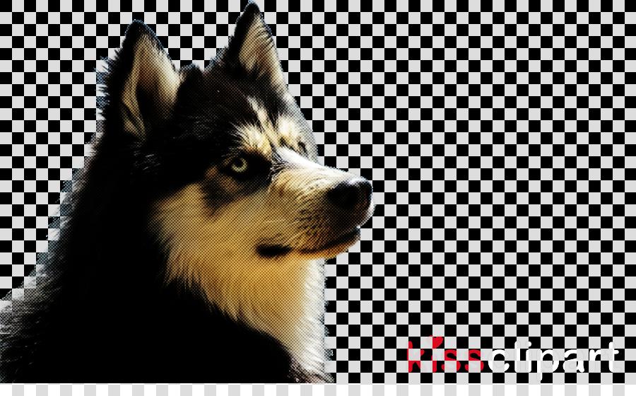 dog siberian husky snout finnish lapphund sakhalin husky