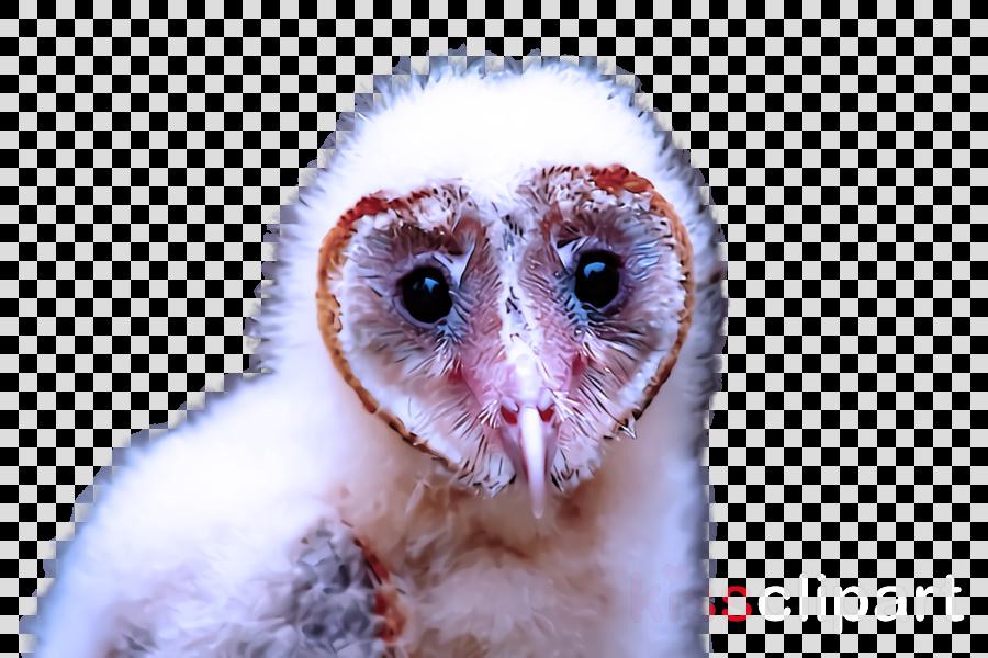 owl bird barn owl bird of prey eye