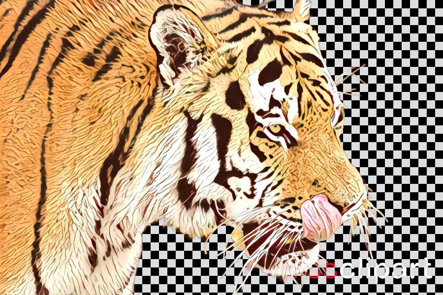 tiger bengal tiger wildlife siberian tiger roar