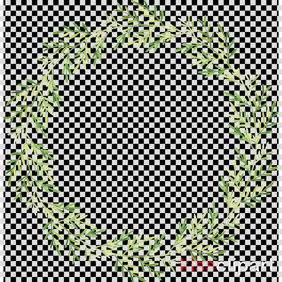 oregon pine colorado spruce leaf plant white pine