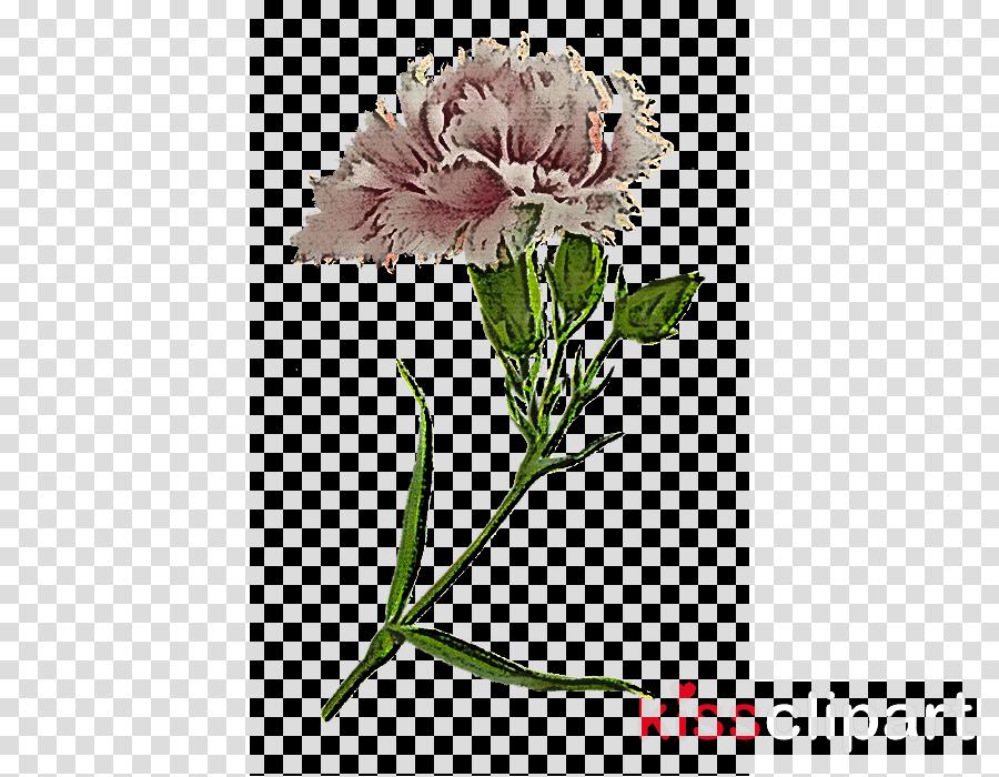 flower plant cut flowers pink pincushion flower