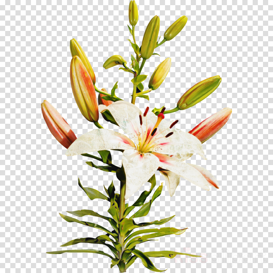 flower lily plant stargazer lily cut flowers