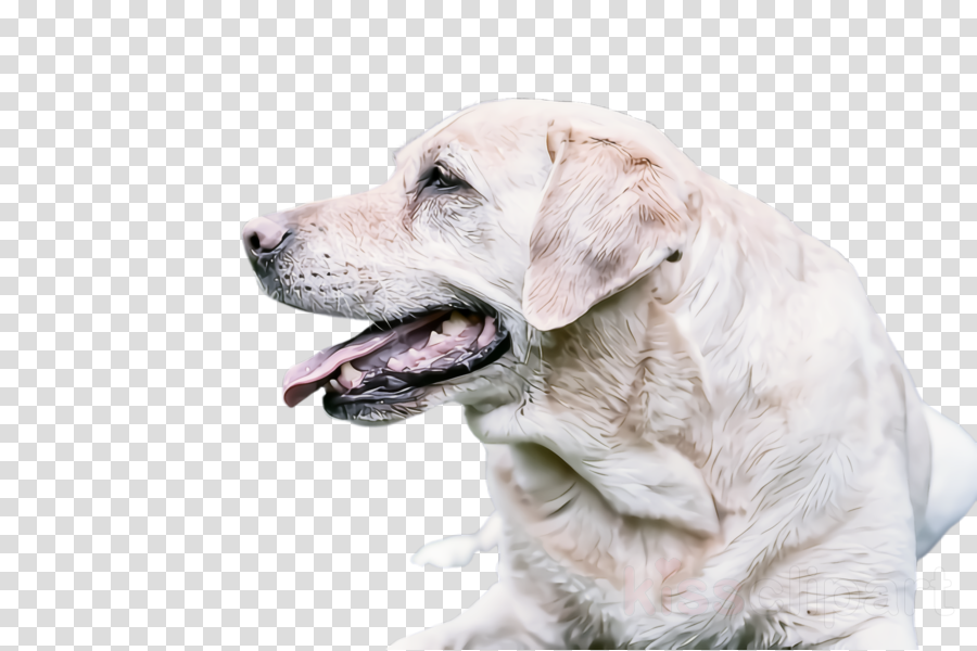dog labrador retriever retriever sporting group golden retriever
