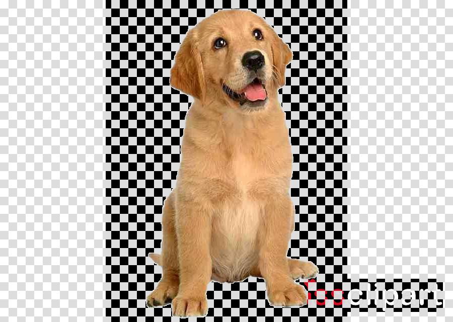 dog golden retriever retriever labrador retriever puppy