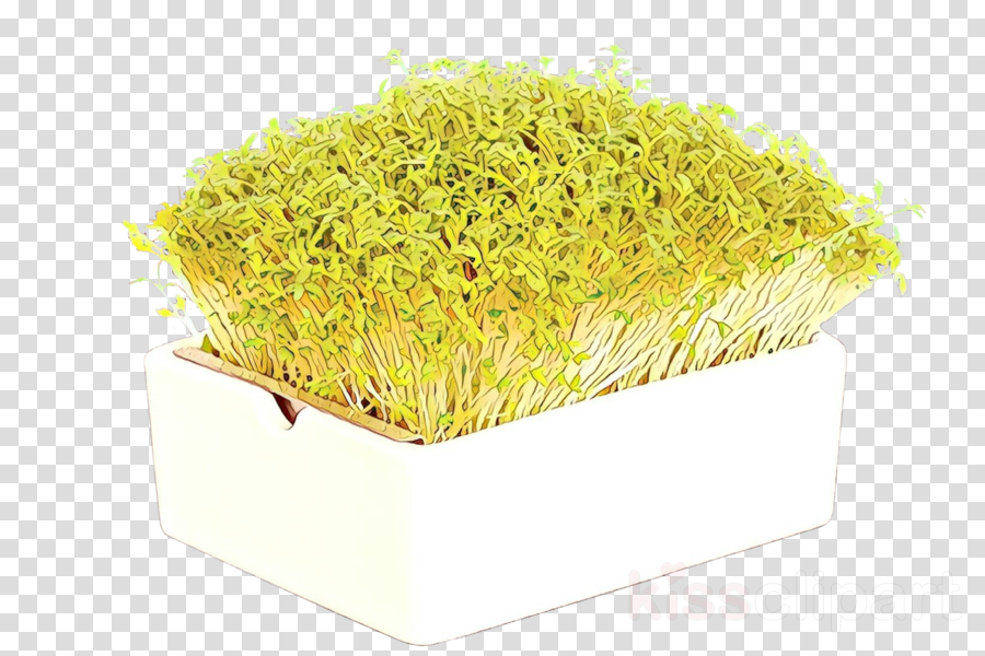 yellow grass plant alfalfa sprouts crop