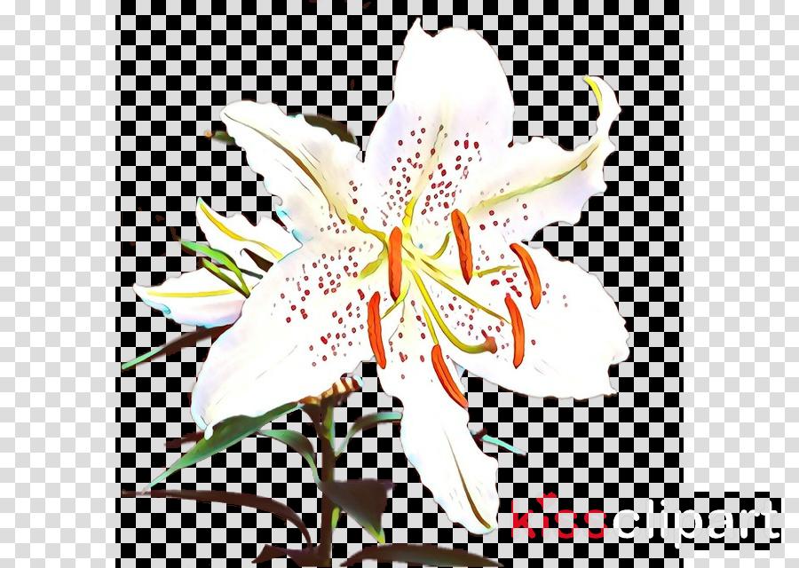 lily flower tiger lily stargazer lily plant