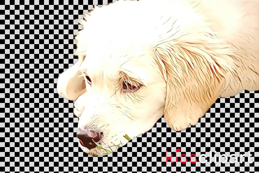 dog nose golden retriever snout sporting group