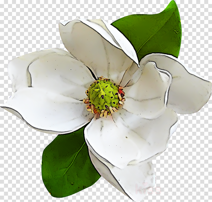 flower petal white plant magnolia