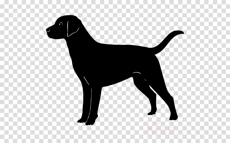 dog sporting group labrador retriever pointing breed hunting dog